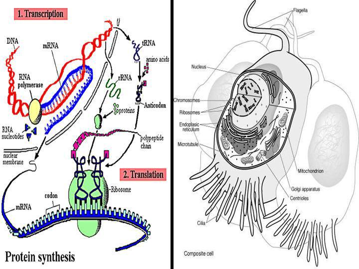 protein-syn.jpg